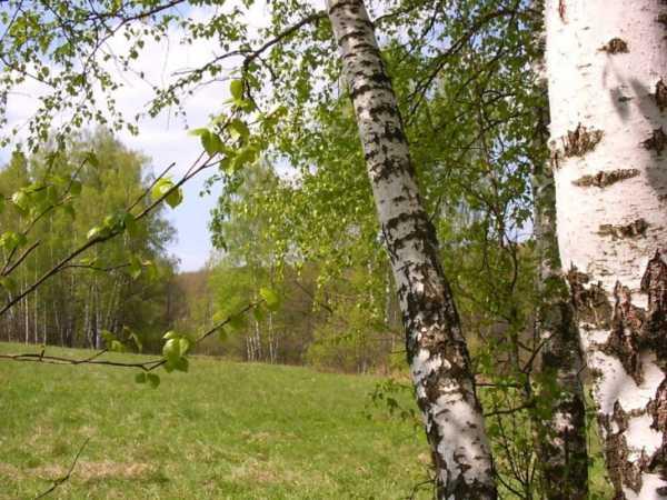 Высота карликовой березы в тундре. символ любви и доброты — белая береза