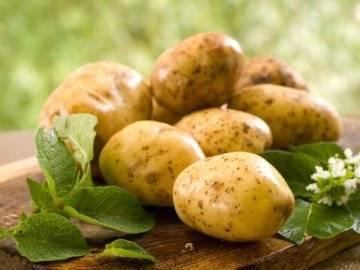 Когда копать картофель, или как определить, что картошка уже созрела