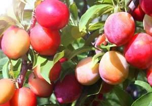 Посадка и уход сливовых деревьев в сибири