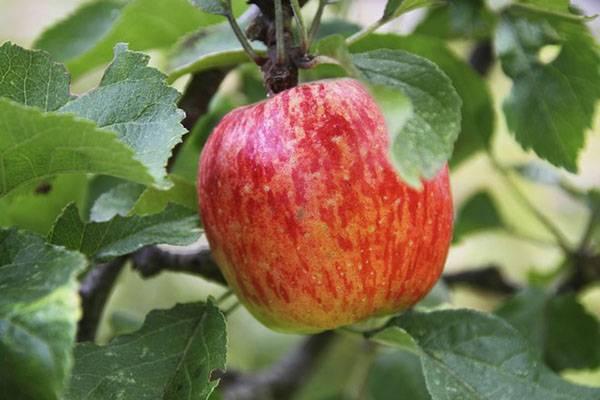 Яблоня серебряное копытце: особенности сорта и ухода
