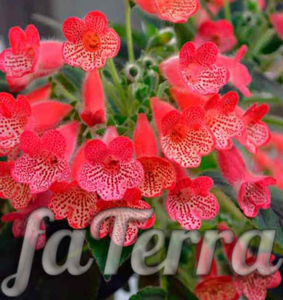 Цветок колерия: уход в домашних условиях