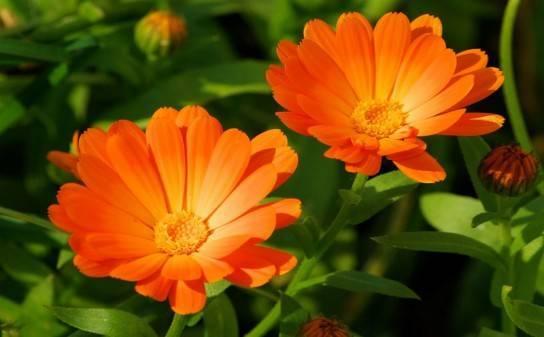 Календула: посадка и уход в открытом грунте, выращивание из семян