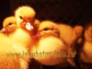 Особенности инкубации яиц индоуток