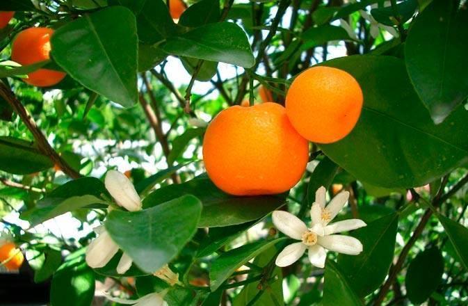 Домашний мандарин из косточки: от а до я