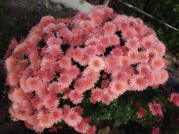 50 фото разных видов и сортов хризантемы мультифлоры, посадка и уход