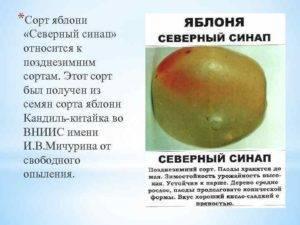 Позднезимняя яблоня северный синап: описание и фото