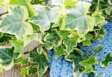 Проблемы выращивания бугенвиллии в домашних условиях