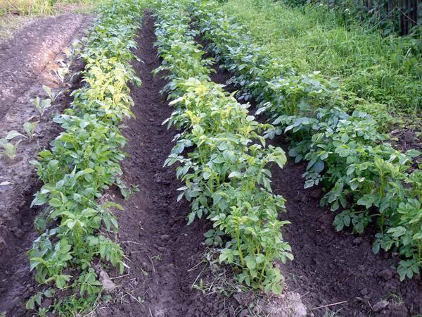 Зачем нужно окучивание картофеля и как его правильно проводить