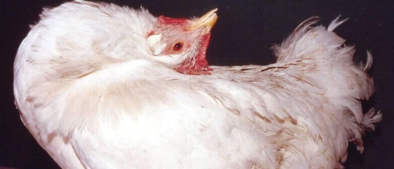 Болезни кур – симптомы и лечение, фото и видео