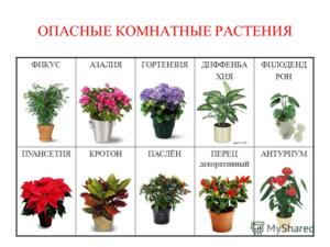 Красавица хойя ретуза. история растения, основы выращивания и уход
