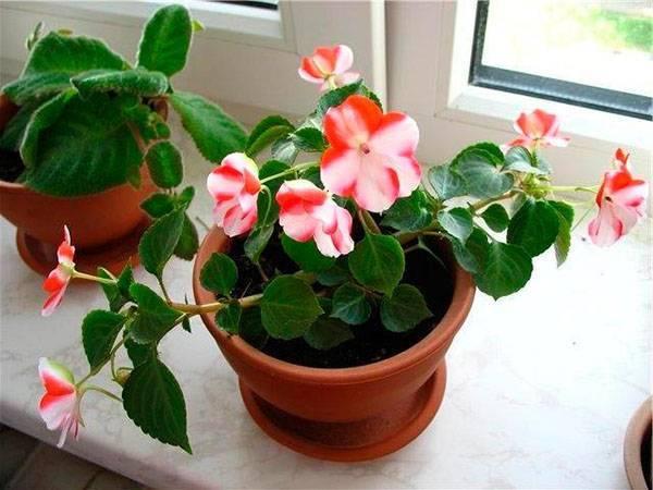 Выращивание комнатного бальзамина