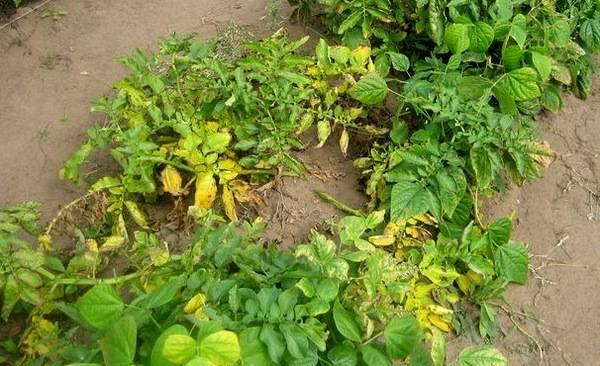 А вы знаете, почему у картофеля желтеют нижние листья?