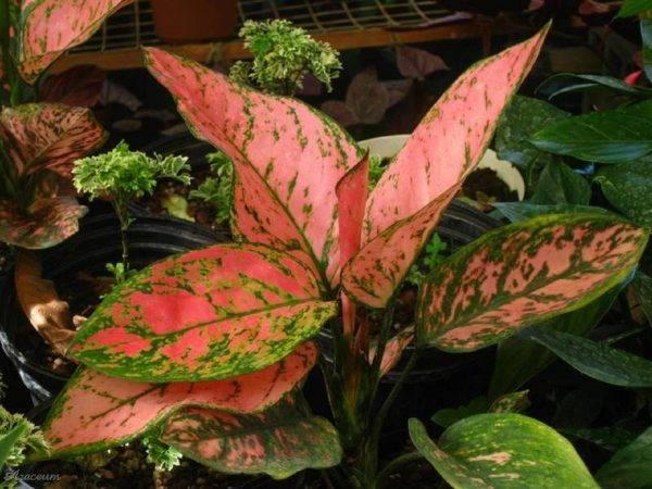 Аглаонема —тропическое чудо у вас на подоконнике