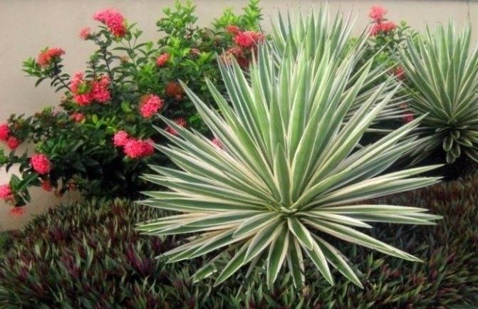 Юкка садовая — неприхотливая южанка