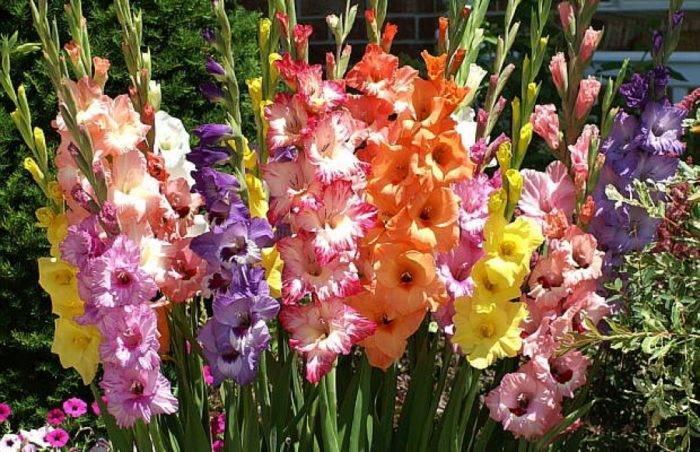 Как вырастить самые яркие и красивые гладиолусы на своем участке