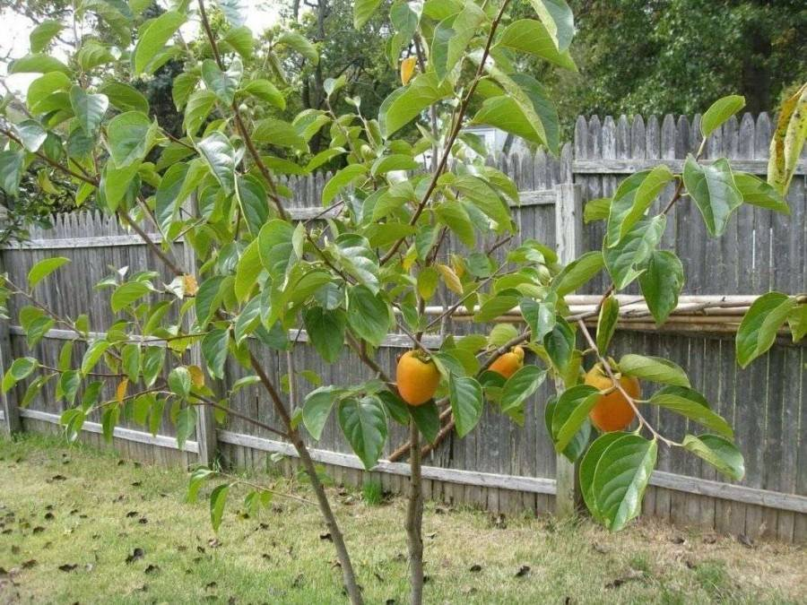 Выращиваем хурму дома из косточки: правила посадки и уход. вырастить дома хурму из косточки совсем не сложно выращивание хурмы дома