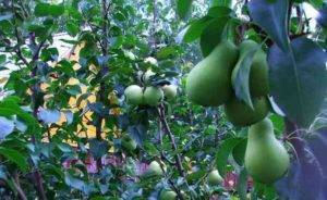 Отвечаем, что можно привить к яблоне: техника выполнения и вероятность успеха