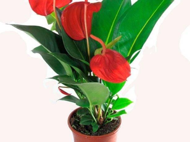 Почему сохнут листья у антуриума и как обеспечить правильный уход за ним в домашних условиях?