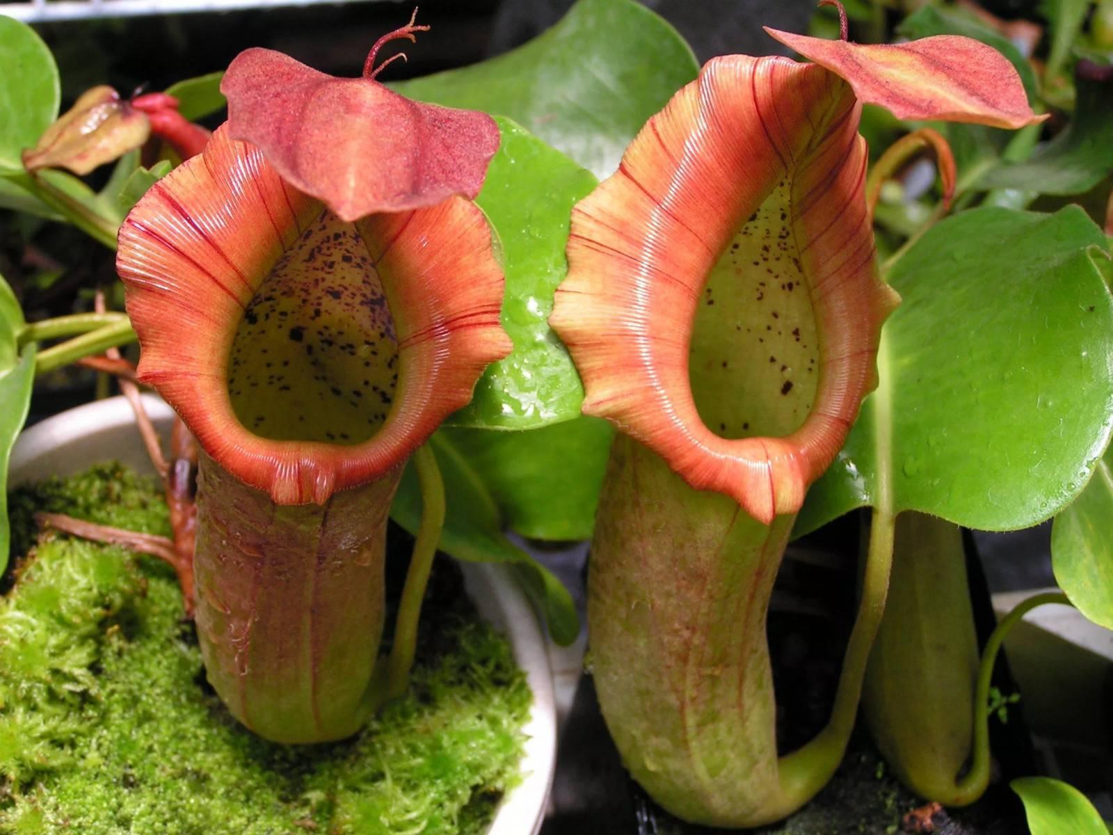 Растение хищник непентес