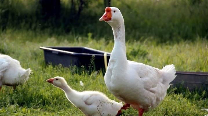 Лучшие породы гусей для разведения в домашних условиях