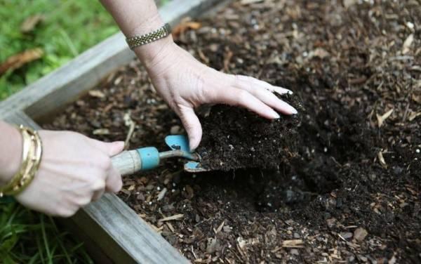 Тонкости выращивания пастернака: от выбора сорта до сбора и хранения
