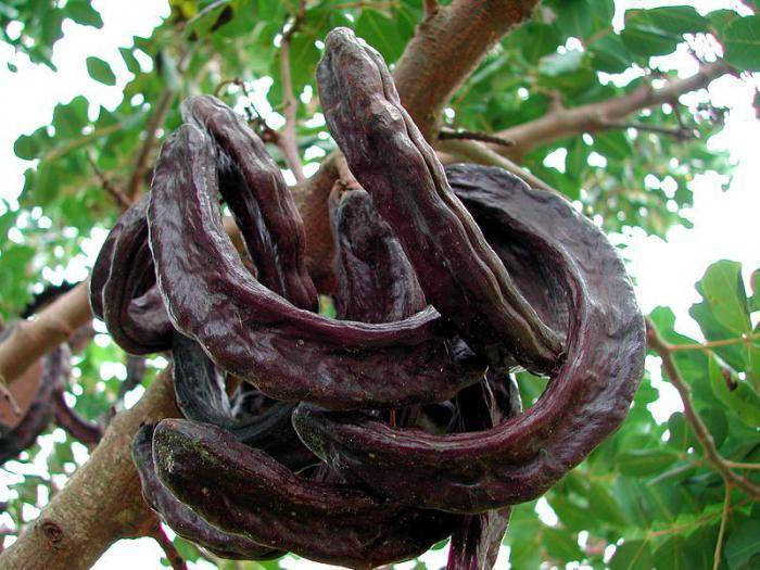 Рожковое дерево (камедь): от чего помогает сироп, масло и другие продукты из плода растения