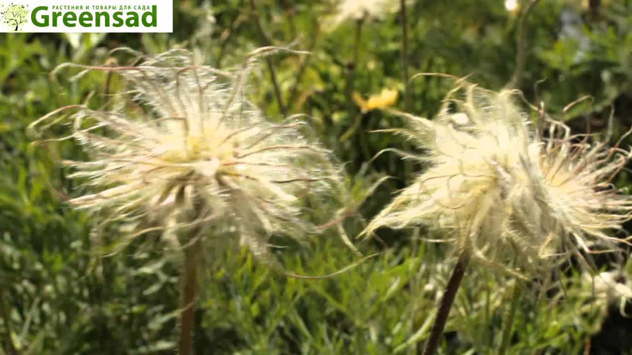 Прострел: посадка и уход за растением в домашних условиях