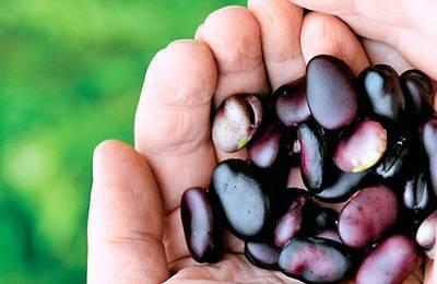 Как готовить бобы черные. заготовка семян черных бобов