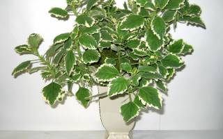 Плектрантус: виды, сорта с описанием, выращивание и уход в домашних условиях