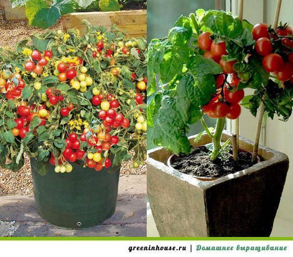Все секреты выращивания помидорчиков черри на балконе