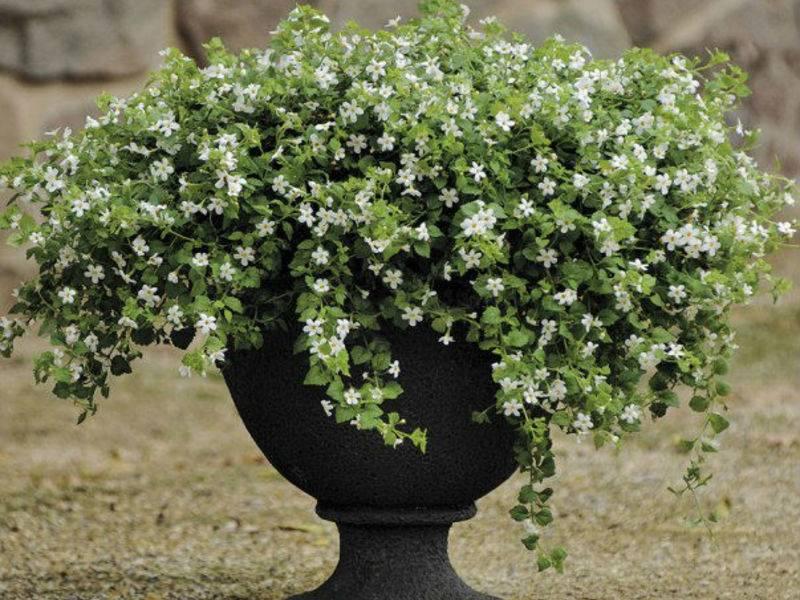 Цветок бакопа ампельная — белые, голубые, махровые и раскидистые сорта