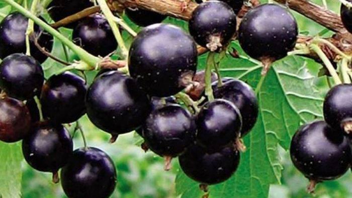 Способы размножения черной смородины: приумножим урожай. как размножать черную смородину черенкованием и делением куста