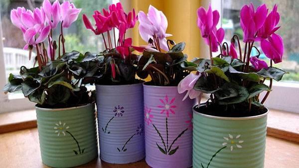 Цикламен — цветок солнца