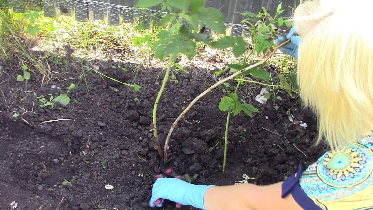 Как ухаживать за малиной весной, чтобы собирать по 4 кг с куста