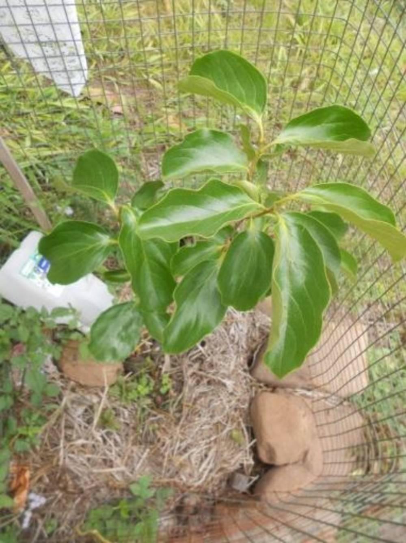 Хурма из косточки в домашних условиях – выращивание на подоконнике