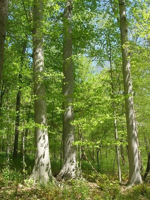 Растение секвойя. величественное дерево секвойя покоряет всех своей помпезностью. туннели для автомобилей в прибрежных секвойях