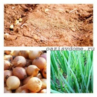 Подготовка лука к посадке весной – основные этапы