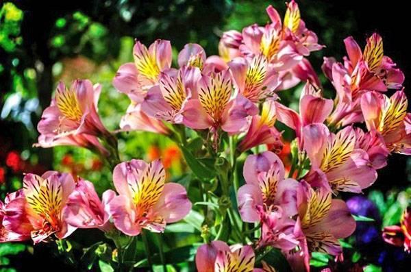 Альстромерия: выращивание из семян и клубней