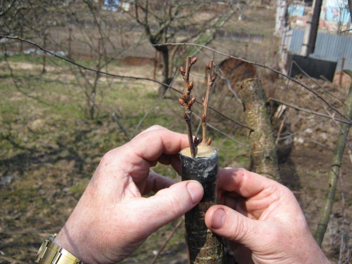 Лучшие сроки для прививки яблони весной