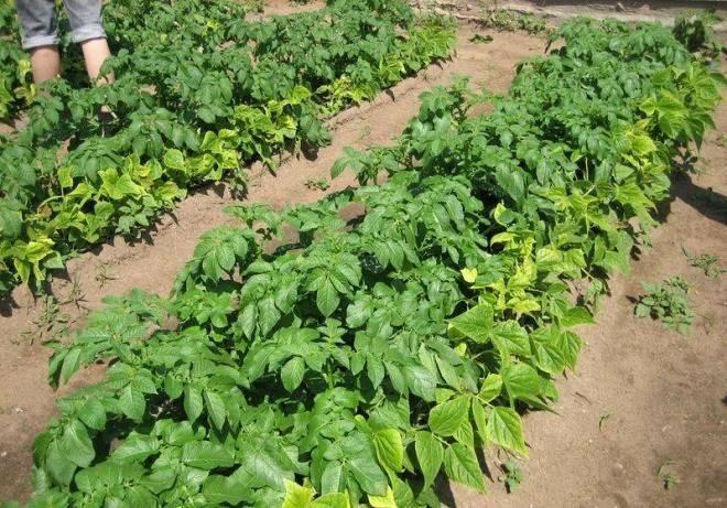 Что делать, если желтеют листья у картофеля