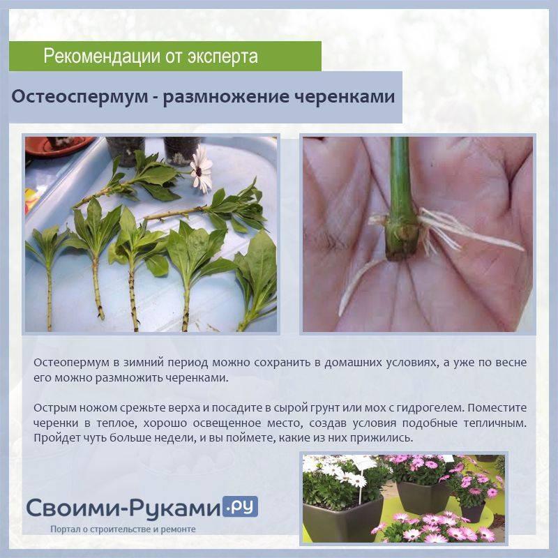 Правильное выращивание и уход за остеоспермумом