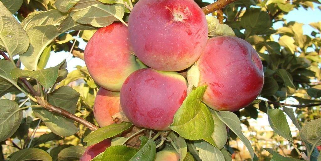 Яблоня грушовка: особенности сорта и ухода