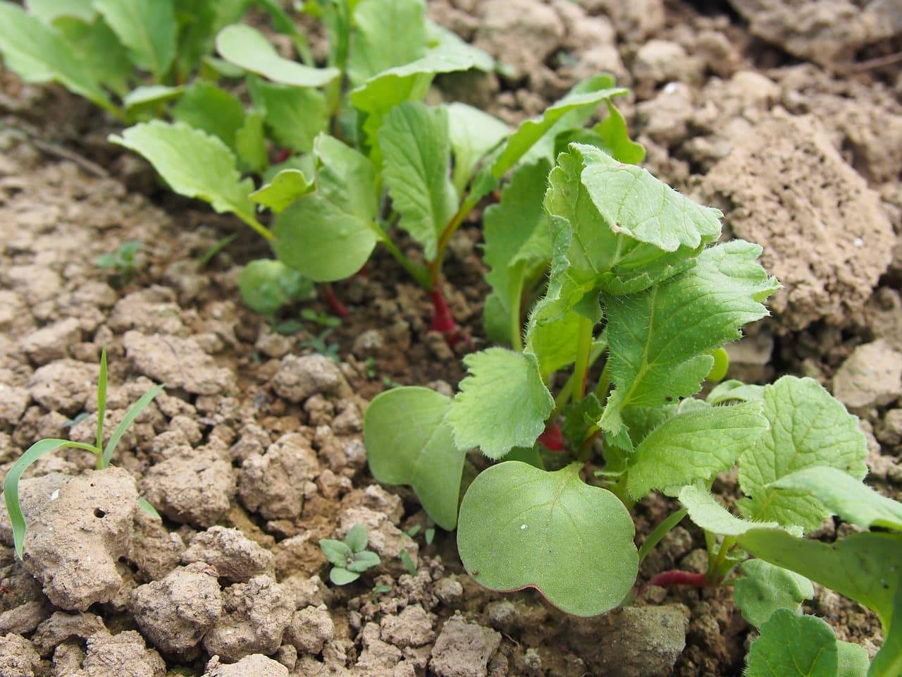 Корнеплоды репа, редька и редис