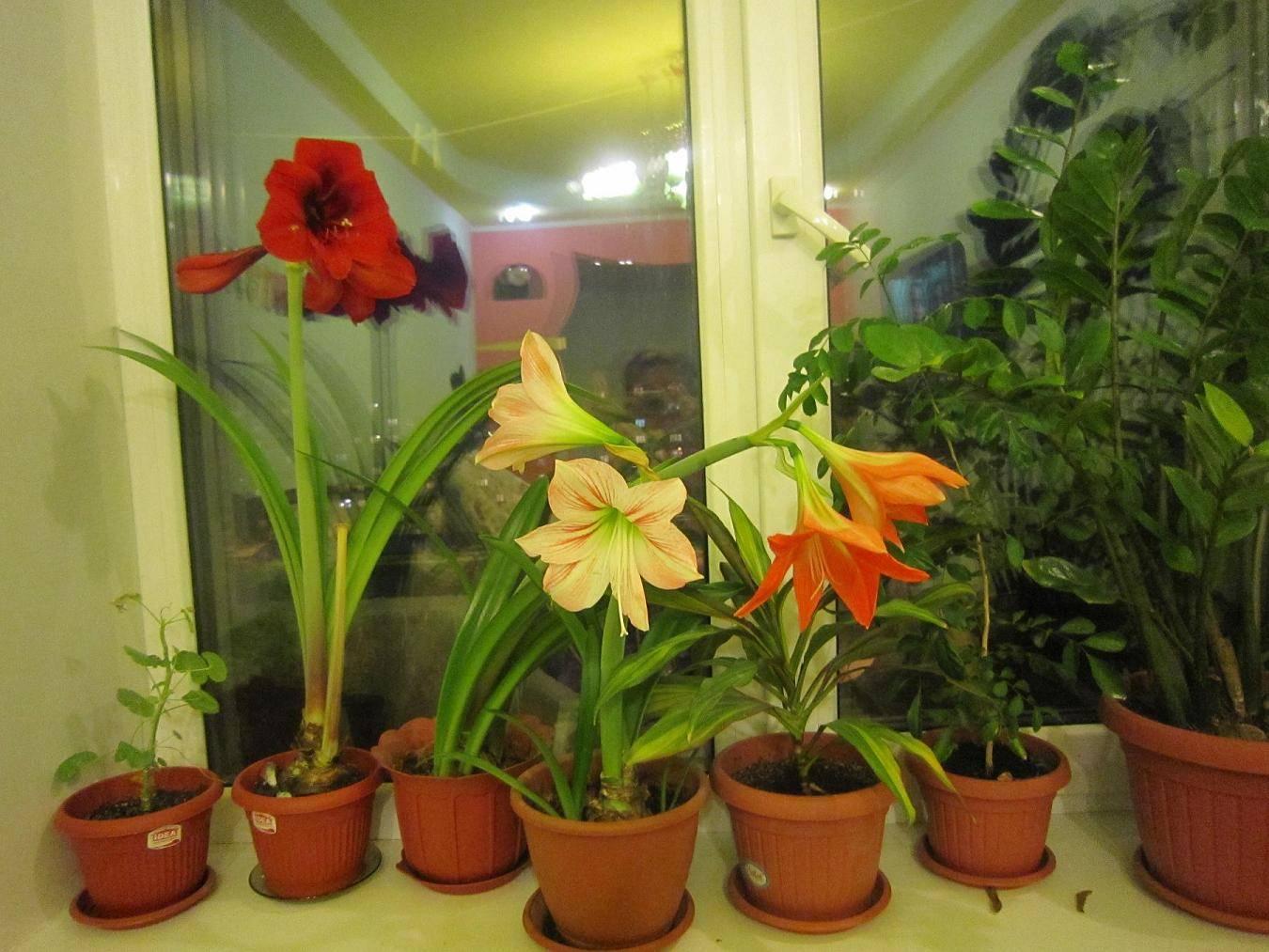 Гиппеаструм: уход и выращивание в домашних условиях,фото,видео.