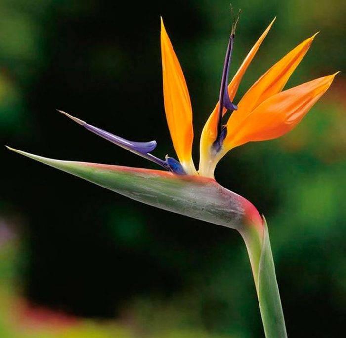 Стрелиция: как ухаживать зарайской птицей исоздать условия для цветения