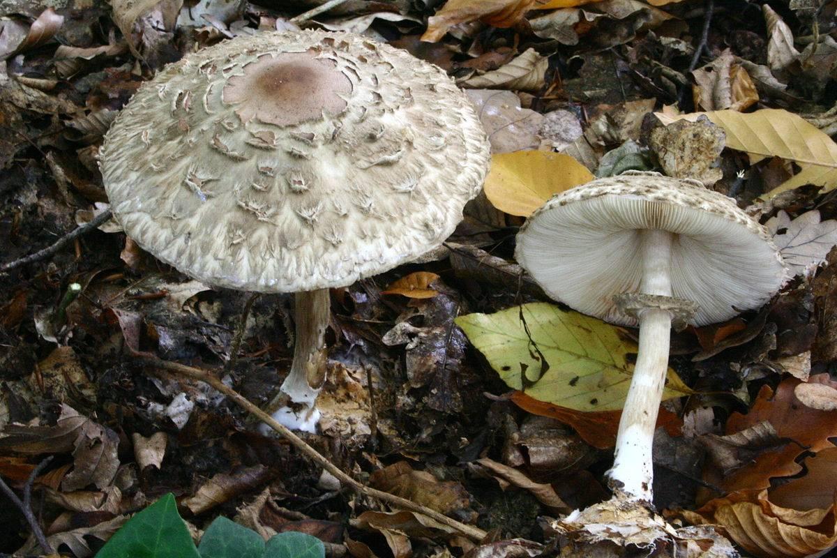 Гриб «зонтик» фото: съедобный и ядовитый