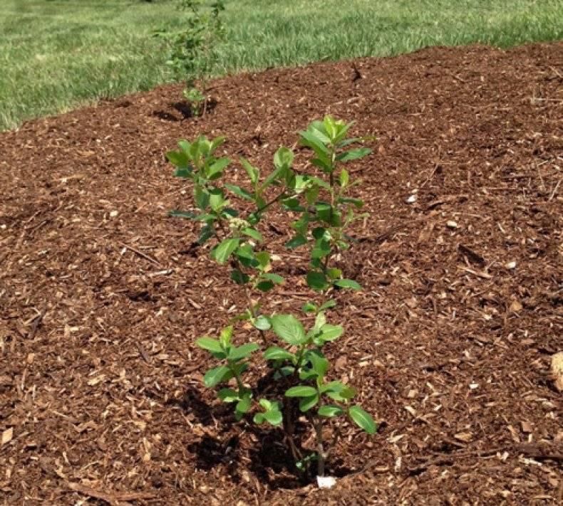 Как размножается черноплодная рябина