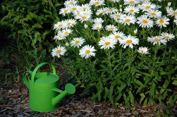 Чудесная ромашка садовая нивяник — украшение вашего участка