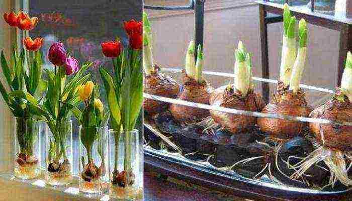 Выгонка тюльпанов к 8 марта: технологии посадки, выращивание
