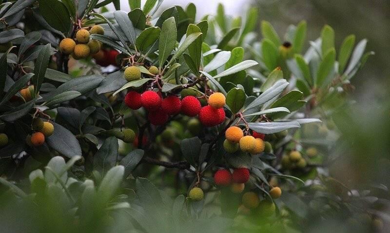 Арбутус или земляничное дерево – выращивание и размножение